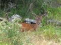 cervo-nel-bosco